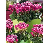 Dehner Premium Alpenveilchen Frange, weiß-lila, gerandet