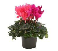 Dehner Premium Alpenveilchen 'Twin', rosa-lila