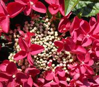 Dehner Premium Bauern-Hortensie 'Lady in Red'