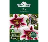 Dehner Premium Blumenzwiebel Baumlilie 'Friso'