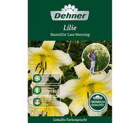 Dehner Premium Blumenzwiebel Baumlilie 'Late Morning'