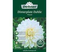 Dehner Premium Blumenzwiebel Dinnerplate-Dahlie 'Fleurel'