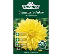 Dehner Premium Blumenzwiebel Dinnerplate-Dahlie 'Kelvin Floodlight'