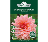 Dehner Premium Blumenzwiebel Dinnerplate-Dahlie 'Otto`s Thrill'