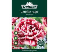 Dehner Premium Blumenzwiebel Gefüllte Tulpe 'Drumline'