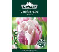 Dehner Premium Blumenzwiebel Gefüllte Tulpe 'Melrose'