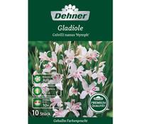 Dehner Premium Blumenzwiebel Gladiole 'Colvilli nanus Nymph'