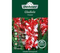 Dehner Premium Blumenzwiebel Gladiole 'Zizanie'