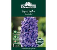 Dehner Premium Blumenzwiebel Hyazinthe 'Blue Jacket'