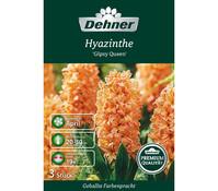 Dehner Premium Blumenzwiebel Hyazinthe 'Gipsy Queen'