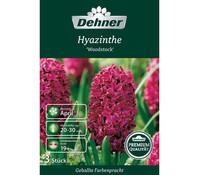 Dehner Premium Blumenzwiebel Hyazinthe 'Woodstock'