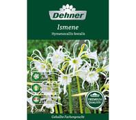Dehner Premium Blumenzwiebel Ismene 'Hymenocallis Festalis'