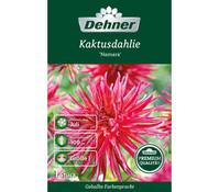 Dehner Premium Blumenzwiebel Kaktusdahlie 'Namara'