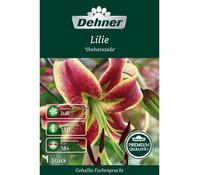 Dehner Premium Blumenzwiebel Lilie 'Sheherazade'