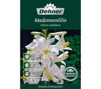 Dehner Premium Blumenzwiebel Madonnenlilie 'Lilium candidum'