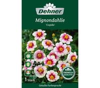 Dehner Premium Blumenzwiebel Mignondahlie 'Cupido'