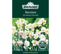 Dehner Premium Blumenzwiebel Narzisse 'Sir Winston Churchill'