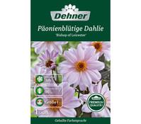 Dehner Premium Blumenzwiebel Päonienblütige Dahlie 'Bishop of Leicester'