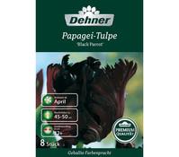 Dehner Premium Blumenzwiebel Papagei-Tulpe 'Black Parrot'