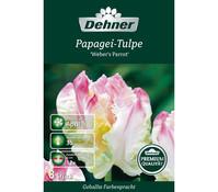 Dehner Premium Blumenzwiebel Papagei-Tulpe 'Weber's Parrot'