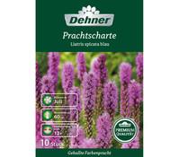 Dehner Premium Blumenzwiebel Prachtscharte 'Liatris spicata blau'