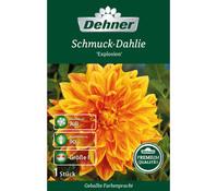 Dehner Premium Blumenzwiebel Schmuck Dahlie 'Explosion'