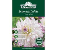 Dehner Premium Blumenzwiebel Schmuck-Dahlie 'Victoria Ann'