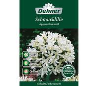 Dehner Premium Blumenzwiebel Schmucklilie 'Agapanthus weiß'