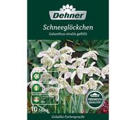 Dehner Premium Blumenzwiebel Schneeglöckchen 'Galanthus nivalis gefüllt'