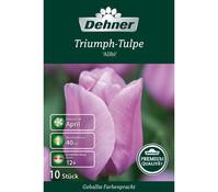Dehner Premium Blumenzwiebel Triumph-Tulpe 'Alibi'