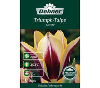 Dehner Premium Blumenzwiebel Triumph-Tulpe 'Gavota'