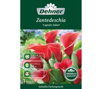 Dehner Premium Blumenzwiebel Zantedeschia 'Captain Safari'