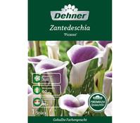 Dehner Premium Blumenzwiebel Zantedeschia 'Picasso'