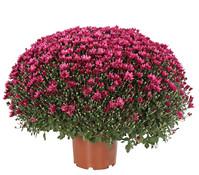 Dehner Premium Chrysantheme 'Aduro'