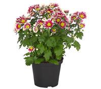 Dehner Premium Chrysantheme 'Ciao Improve'