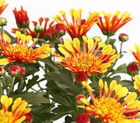 Dehner Premium Chrysantheme 'Embera'