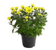 Dehner Premium Chrysantheme 'Happiness'