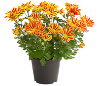 Dehner Premium Chrysantheme 'Lake Worth'