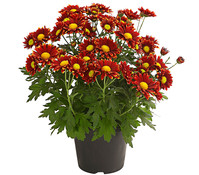 Dehner Premium Chrysantheme 'Little Rock'