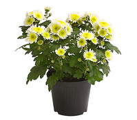 Dehner Premium Chrysantheme 'Pura Vida'