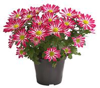 Dehner Premium Chrysantheme 'Rainbow Candy'