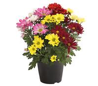 Dehner Premium Chrysantheme 'Sixties'