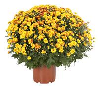 Dehner Premium Chrysantheme 'Tocca'