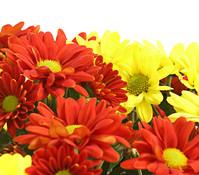 Dehner Premium Chrysantheme 'Twin', gelb-orange