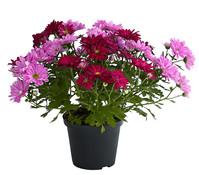 Dehner Premium Chrysantheme 'Twin', rosa-lila