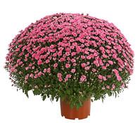 Dehner Premium Herbst-Chrysantheme 'Aviva'