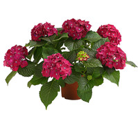 Dehner Premium Hortensie 'Red Beauty'