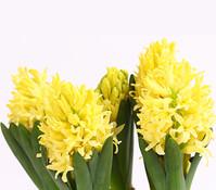 Dehner Premium Hyazinthe 'Yellow Queen'