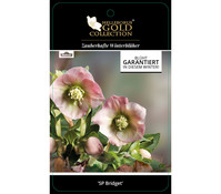 Dehner Premium Lenzrose 'SP Bridget' - Helleborus Gold Collection®