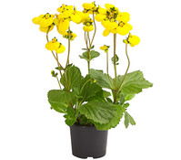 Dehner Premium Pantoffelblume 'Calynopsis'